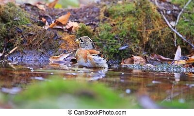 brambling bathing in puddles in the forest autumn day ,...