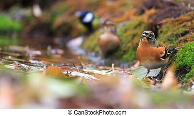 brambling drink water and flying away