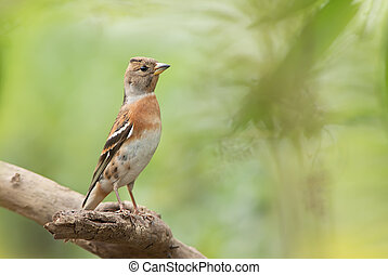 Brambling, female bird, Upright and Witherbark, Green ...