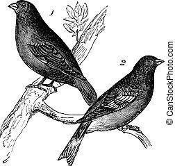 Brambling or Fringilla montifringilla and Carduelis chloris...