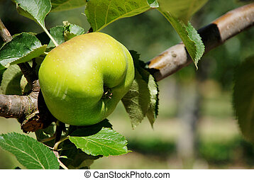 Bramley cooking apple ripening on the branch in an English...