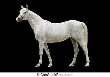 branca, árabe, cavalo, isolado