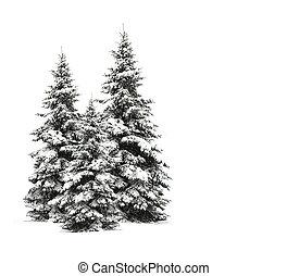 branca, árvores pinho, isolado