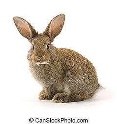 branca, adorável, isolado, coelho