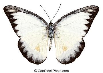 branca, borboleta, espécie, appias, lyncida