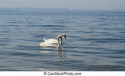 branca, dois, swan.