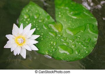 branca, flor lotus, folha
