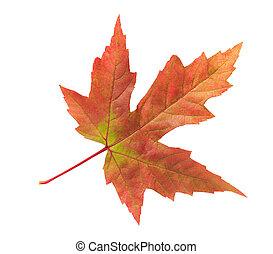 branca, folha, isolado, fundo, maple