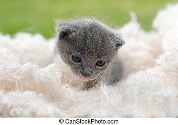 branca, gatinho, cobertor, cinzento