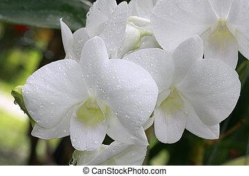 branca, grupo, orquídeas