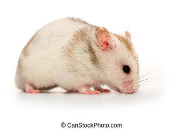 branca, hamster