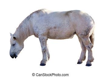 branca, horse., isolado, sobre, branca