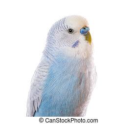 branca, isolado, papagaio
