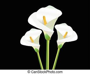 branca, lírio calla, flores