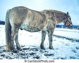 branca, lamacento, cavalo, em, neve fresca, vontade, rolling.