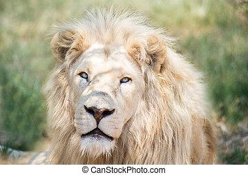 branca, leão