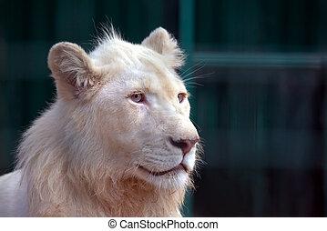 branca, leão, olha, em, a, direção, de