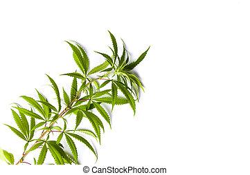 branca, marijuana, ramo, isolado