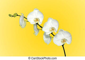 branca, orquídea, com, bonito, flores