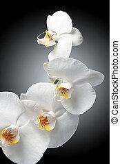 branca, orquídea, ligado, experiência preta