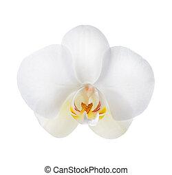branca, orquídea, sobre, branca