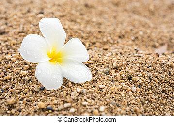 branca, plumeria, areia