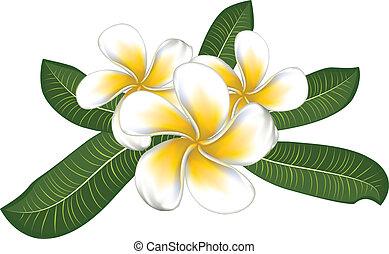 branca, plumeria, com, folhas