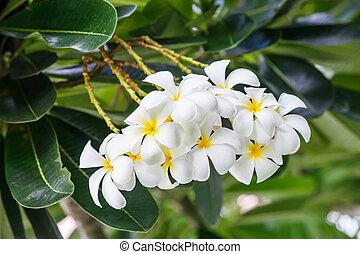 branca, plumeria, flor