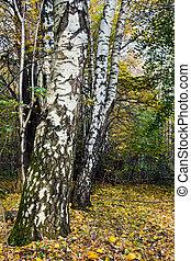 branca, russo, vidoeiros, em, a, floresta outono