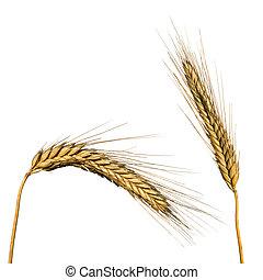 branca, trigo, isolado