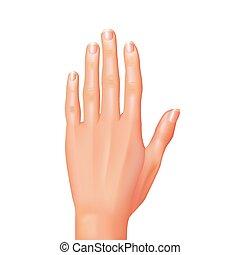 branca, vetorial, isolado, mão