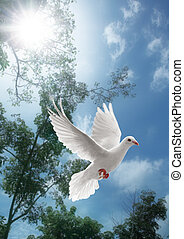 branca, voando, pomba