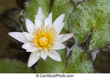 branca, waterlily