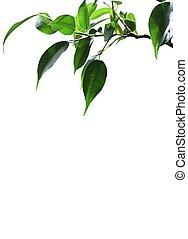 branch., 绿色