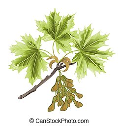 Branch Acer-Maple and leaves vector.eps - Autumn branch of...