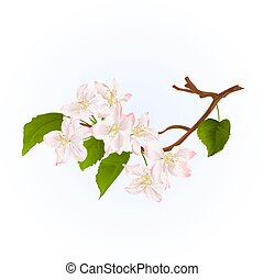 Branch apple tree  with flowers vintage vector.eps