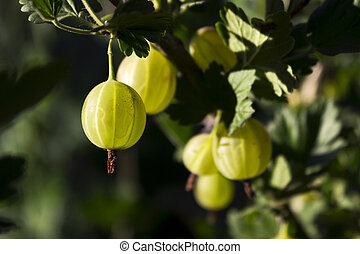 Branch bush of green gooseberry with ripe berries blooms in the garden
