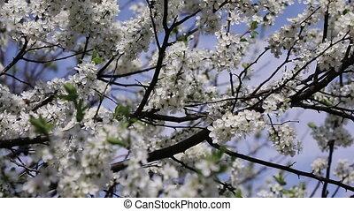 branch cherry tree flowering - branch cherry tree in front...