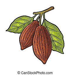 Branch cocoa with leaves. Vector vintage engraving illustration