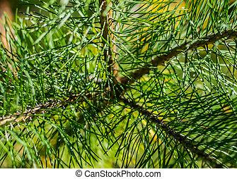 Branch coniferous tree.