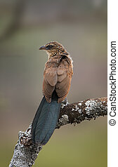 branch., coucal, white-browed, モデル