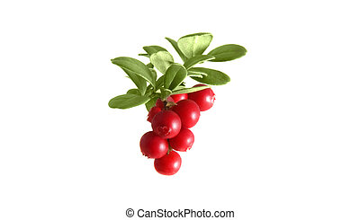 Image of the branch cranberries on a white background