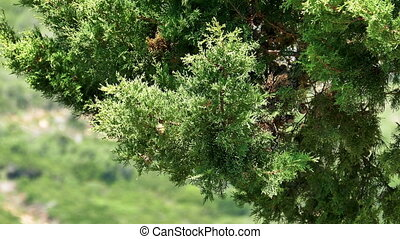 Branch Cypress on Green Background, closeup