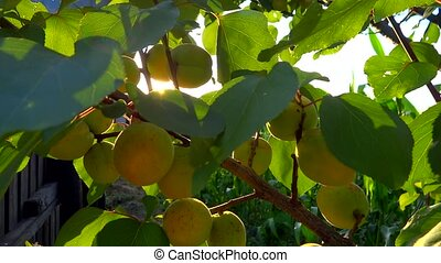 branch full of apricots in the bree
