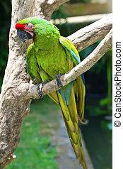 branch., klar, papegøje, macaw, siddende