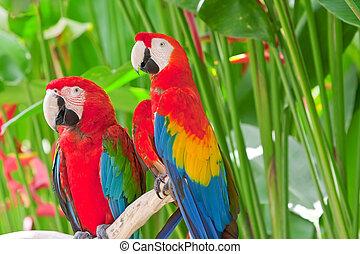 branch, klar, tropisk, his, store, papegøjer
