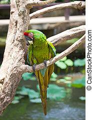 branch, klar, tropisk, papegøje, his, store