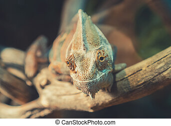 branch., närbild, kameleont, synhåll, sittande