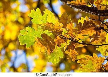 Branch oak leaves