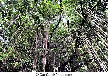 branch of a banyan tree